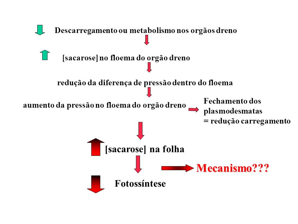 Mecanismo [sacarose] na folha Fotossíntese
